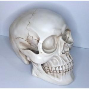 Calavera cabeza de esqueleto Grande Resina craneo humano replica realista